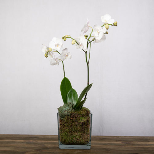 A white orchid plant with transperent vase and moss inside