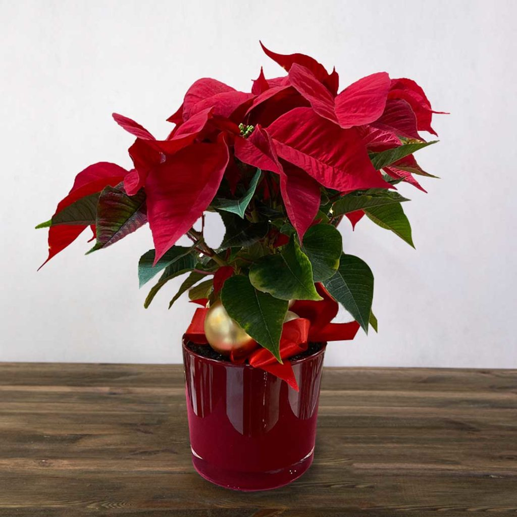A red poinsettia plant in a nice ceramic red pot.