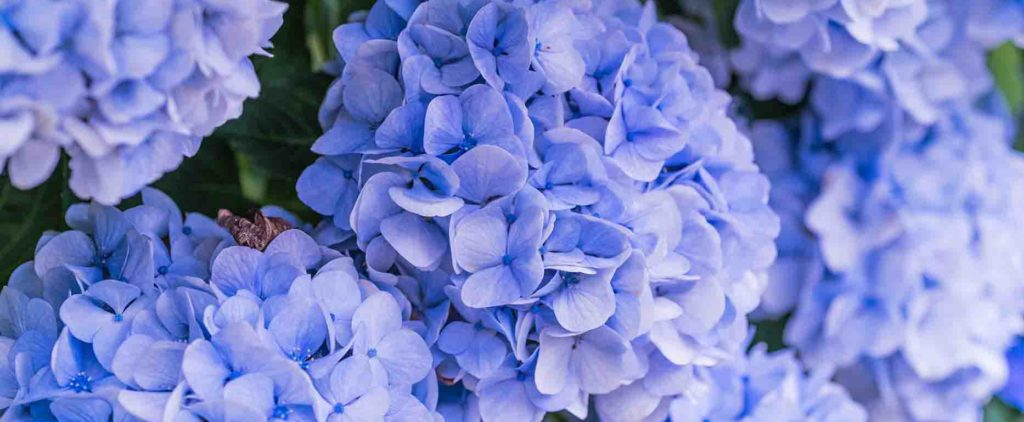 Multiple beautiful light blue hydrangea