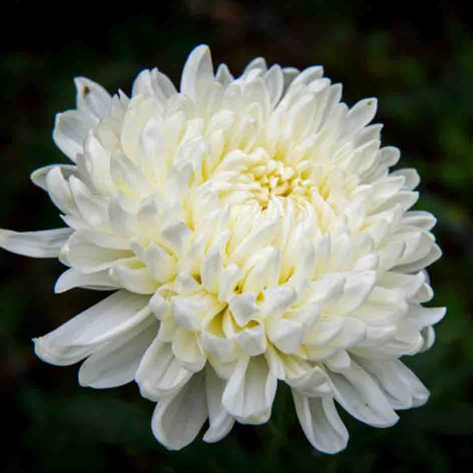 A close up of a fully bloomed chrysanthemum