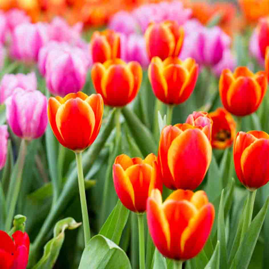 A field with red and purple tulips