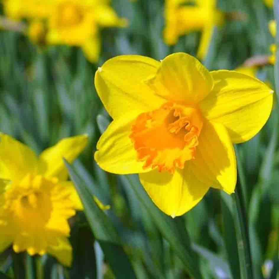 A close up of a yellow daffodil