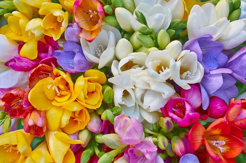 Freesia flowers in different colours. White, yellow, red blue and purple.