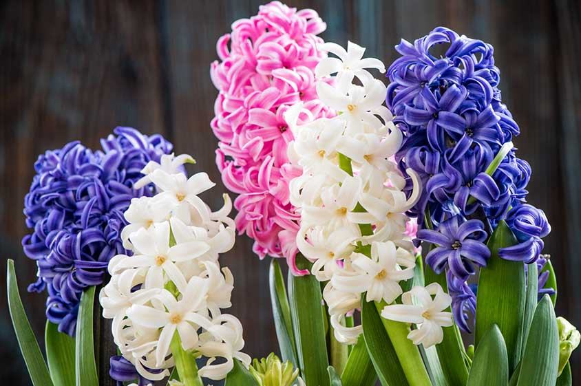 Hyacinth flowers fully bloomed in white, blue and pink.