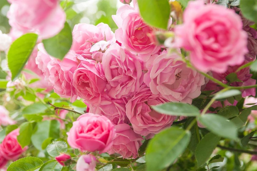 A bunch of pink garden roses flowers.